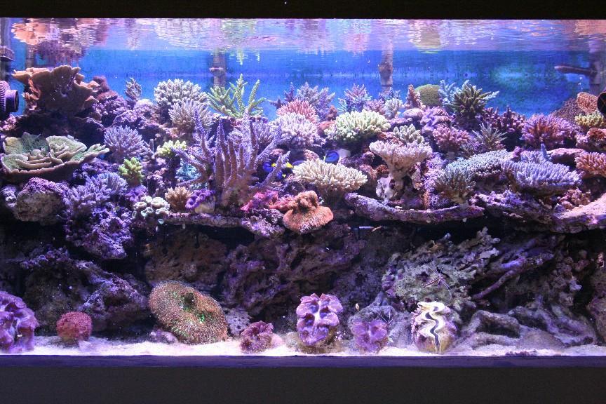 Pictures of Aqun's fantastic SPS aquarium in Indonesia