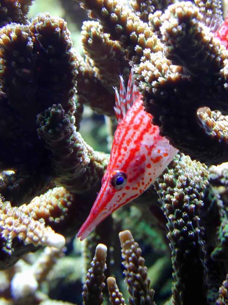 Long nosed hawkfish
