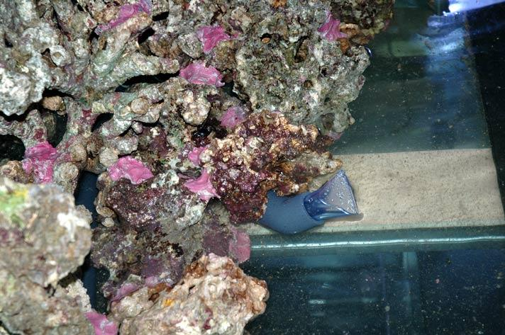 This shows a close up of the rock and the lower pipe nozzles which point up into the water column. The plastic is soon covered by coralline algae.\I used both grey and purple Aquascape on the rock which I mixed seperately and then lightly blended them together to give a mottled effect.