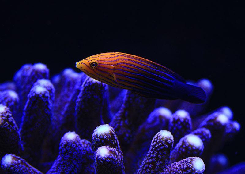 Blue stripe Tamarin wrasse female\